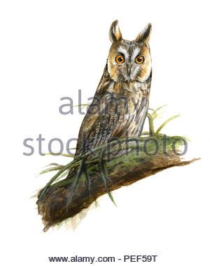 long-eared owl asio otus - Stock Image