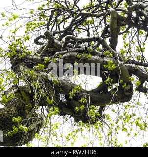 Low Angle View of Twisted Camperdown Elm Tree with Blooming Leaves - Stock Image