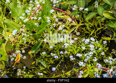 Water forget-me-nots (myosotis scorpioides)  growing in a garden pond in summer - Stock Image