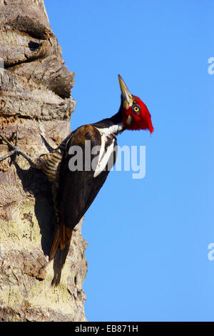 Lineated Woodpecker (Dryocopus lineatus) - Stock Image
