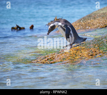 Solitary african penguin getting ready to dive into ocean  water from a boulder. - Stock Image