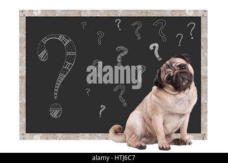 sweet smart pug puppy dog sitting in front of  blackboard with chalk question marks, isolated on white background - Stock Image