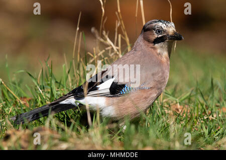 Eurasian Jay (Garrulus glandarius) foraging for nuts in grassy undergrowth - Stock Image