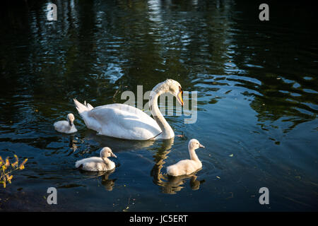 Mute swan (Cygnus olor) mum swimming with her small cygnets in the river - Stock Image