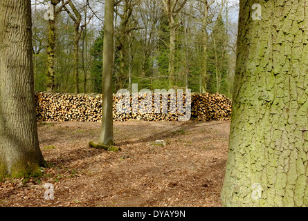 Firewood stacked in woodland to dry - Stock Image