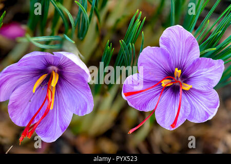 Saffron is a spice derived from the flower of Crocus sativus. The vivid crimson stigmas and styles, called threads, are collected to be used mainly as - Stock Image