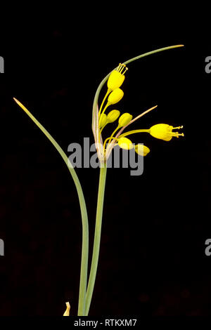 Yellow-flowered onion, Allium flavum, var minus.  July - Stock Image