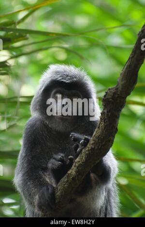 Sleeping Monkey at Singapore Zoo - Stock Image
