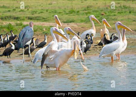 Bird Choking on Fish Netting, Bird Swallowed Fishing Net - Stock Image