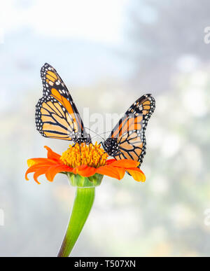 A pair of Monarch butterflies feeding on the same tithonia flower - side view on a soft background - Stock Image