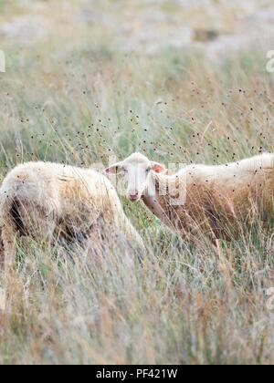 Sheep on Pag island in Croatia - Stock Image