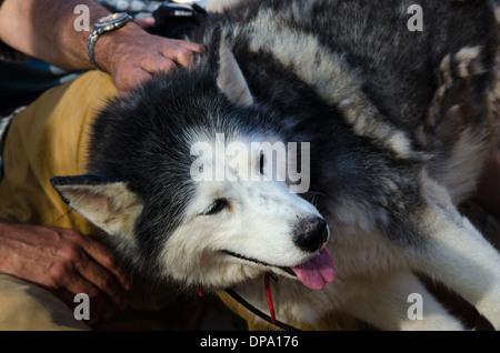 Man stroking Husky. - Stock Image