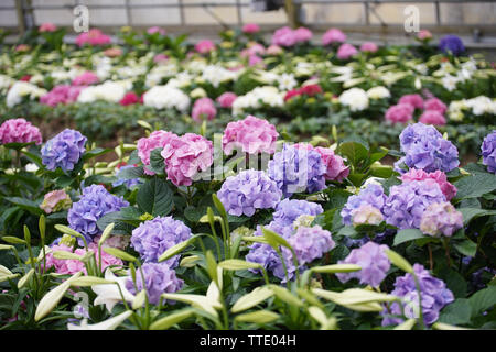 pink and purple flowers inside greenhouse - Stock Image