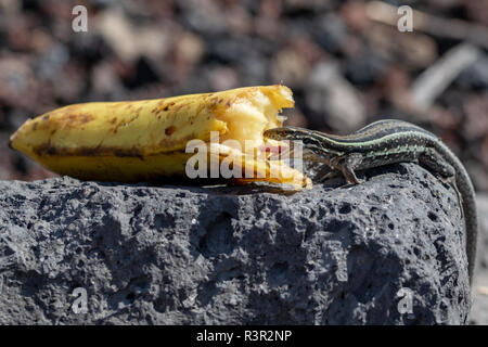 Wall lizard with mouth open eating a discarded banana, La Palma, Canary Islands, Spain - Stock Image