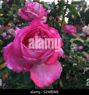 Pink roses - Stock Image
