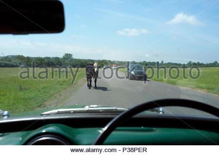Sodbury Common - traffic hazard, free roaming cattle obstruct a motorist's progress. Chipping Sodbury, South Gloucestershire, UK. - Stock Image