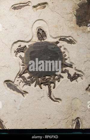 Fossil of a soft-shell turtle with other fish. The Field Museum. Chicago, Illinois, USA. - Stock Image