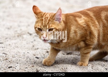 Portrait with copy space of a red colored domestic cat walking through sand. - Stock Image