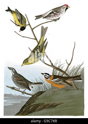 1 Townsend s Bunting, Dickcissel, Mystery birds, existence unclear, Emberiza townsendii, Townsend s Bunting, Dickcissel, - Stock Image