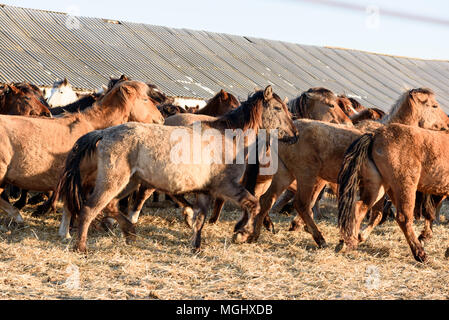 Wild brown and light tan horses in a team in winter with long manes in natural sunlight - Stock Image