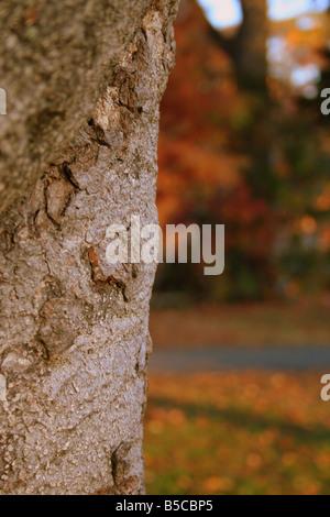Fall color colour autumn orange brown red distressed season Atlanta Georgia tree plant photosynthesis trunk branch - Stock Image
