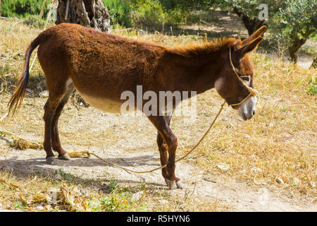 A donkey grazing on the dry ground in the Nazareth Village Museum in Israel. this museum provides an authentic look and living insight to the life and - Stock Image