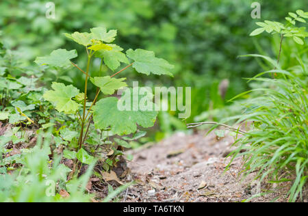 Acer pseudoplatanus (Sycamore maple or just Sycamore) leaves on the ground next to a path in woodland in Spring (May) in West Sussex, England, UK. - Stock Image