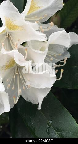 White rhododendron in the rain - Stock Image