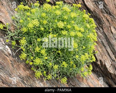 UK perennial wild flower, Rock samphire, Crithmum maritimum, growing on a sea cliff at Ilfracombe, Devon - Stock Image