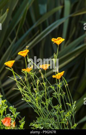 Californian poppy Mission Bells, california, Eschscholzia californica, planted in front of phormium tenax variegata - Stock Image