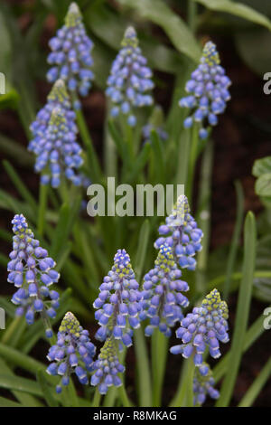 Close up of a patch of beautiful purple and white grape hyacinth flowers - Stock Image