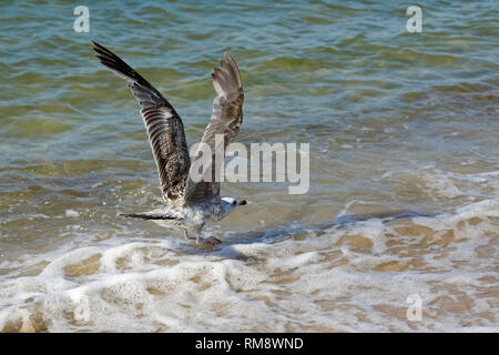 Water bird landing in the shallow water of the Baltic Sea, which was observed in Kolobrzeg, Poland - Stock Image
