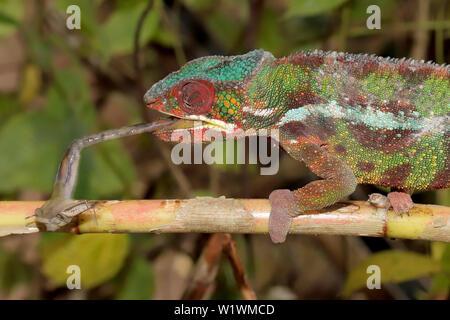 Male Panther Chameleon Furcifer pardalis Feeding on Grasshopper - Stock Image