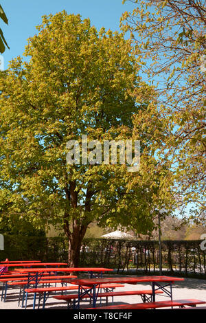 beer garden in bavaria with empty tables and chestnut trees in front of azure sky, beer garden with the sun beating down without people - Stock Image