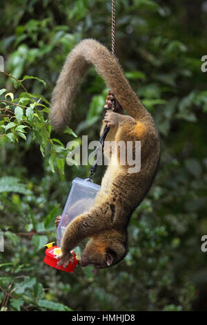 Olingo (Bassaricyon gabbii) feeding from a hummingbird feeder. Monteverde Cloud Forest Preserve, Costa Rica. - Stock Image