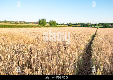 A long straight path cuts through a golden crop of wheat, barley or corn in the english countryside on a warn summer's evening with clear blue skies - Stock Image
