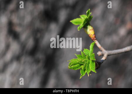 Chestnut let loose young leaves and flower buds in the spring - Stock Image