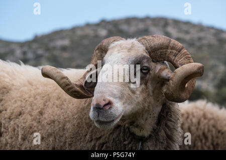 Rare Rescued Male Mountain Sheep ( Provato ), Horns, Probably the Oldest Living, Close up Profile, Saronida, East Attica, Greece. - Stock Image
