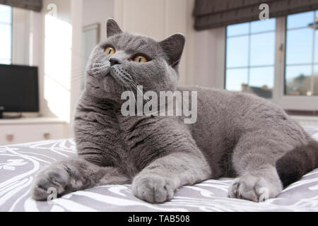 British Blue Shorthair Cat, Portrait single male adult, Lying down on bed home, England, UK - Stock Image