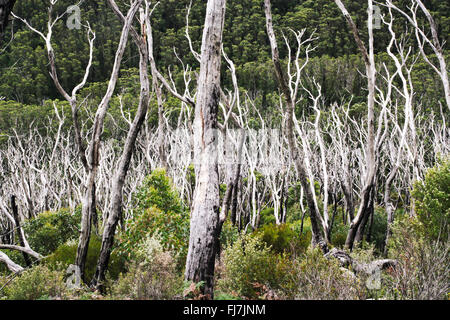 Looking over regenerating native gum forest, with burnt tree trunks still visible amongst the green. - Stock Image