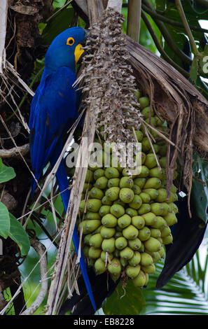 Hyacinth Macaw (Anodorhynchus hyacinthinus) feeding on palm nuts, Pantanal, Mato Grosso State, Brazil - Stock Image
