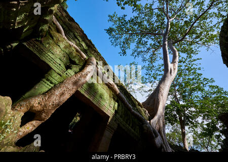 Large tree roots covering Ta Prohm ruins in Angkor Wat. The Angkor Wat complex, Built during the Khmer Empire age, located in Siem Reap, Cambodia, is  - Stock Image
