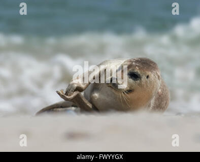 Close up of baby gray seal (Halichoerus grypus) lies on the sand and is clapping at the beach at Dune, Helgoland, - Stock Image