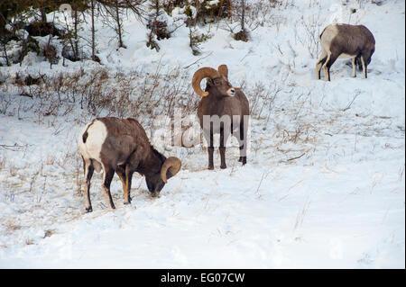Big Horn Sheep Winter - Stock Image