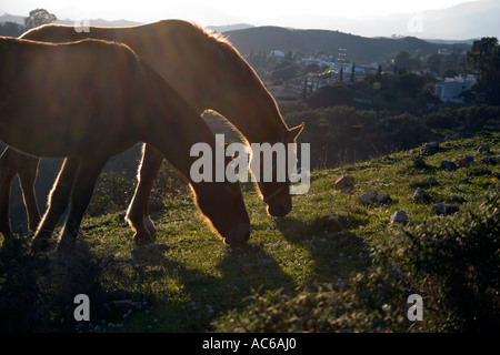 Ponies in the hills above Fuengirola, Spain - Stock Image