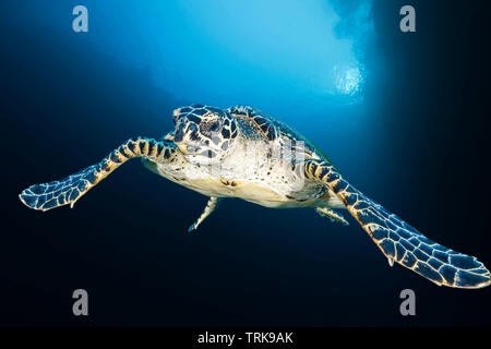 Hawksbill Sea Turtle, Eretmochelys imbricata, Lissenung, New Ireland, Papua New Guinea - Stock Image