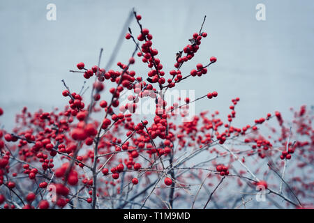 Red berries growing on winter plant - Stock Image