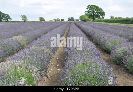 The striking blue lavender in parallel rows across a field on the Mendip Hills  at Faulkland,Somerset,UK - Stock Image