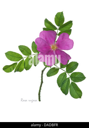 Rugosa rose = Japanese rose = Ramanas rose (Rosa rugosa) flower and leaves on the white background - Stock Image