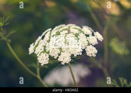 Cow parsley - White flower - Stock Image